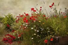 Poppy Garden by David Lorenz Winston Art Print Poster Flower Floral Photo 13x19