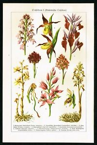 Orchid Flower Varieties, Botanical Plate, Meyer's Lexikon 1928