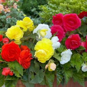 8 Begonia Double Mixed Summer Flowers Bulbs Tubers Garden Hanging Baskets Plants