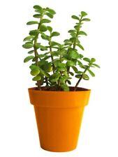 Jade Crassula Ovata Portulcaria Money Tree 3 Plants 15cm to 20cm  Root Developed