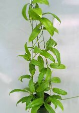Hoya sp sabah 7950 [B22J1],1 pot rooted plant20-22 inches!