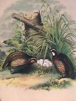 Studer's Birds -1878 - Birds Of North America Plate Original Chromolithograph