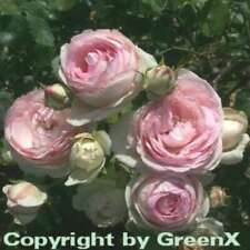5 Pezzi Rosa The Fairy bianco o prati Rose Bianco prospera in vaso all/'altezza