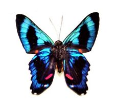 ONE REAL BUTTERFLY BLUE RED ANCYLURIS PERU UNMOUNTED WINGS CLOSED