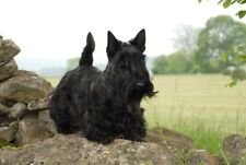 Scottish Terrier A6 Blank Card Design No 6 By Starprint