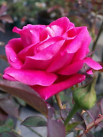 PINK Don Juan Climbing Rose 1 Gal Upright Plant Disease Resistant Fragrant Roses