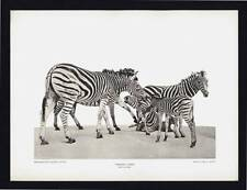 PHOTOGRAVURE CARL E. AKELEY TRANSVAAL ZEBRA SOUTH AFRICA TAXIDERMY SCULPTURE
