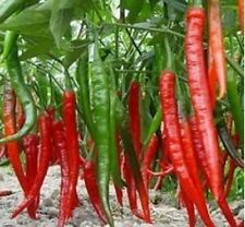RED THAI HOT CHILLI, 50+ FRESH SEEDS, NICE HEAT, HEAVY CROPPING