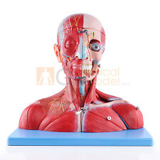 Head and Neck with Vessels, Nerves and Brain Medical Anatomical Model 19 PCS