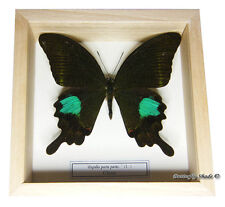 REAL MOUNTED FRAMED BUTTERFLY - Papilio paris paris - PARIS PEACOCK