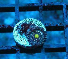 Badass Blue Lagoons Zoas / Palys - Badass Frags Wysiwyg Live Coral Frag