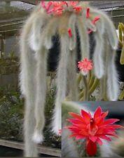 BIG Hildewintera Colademononis coda di scimmia monkey tail CUTTING TALEA cactus
