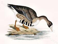 White Fronted Goose - Game Bird ART PRINT - FREE UK P&P