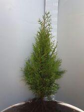 Thuja Brabant 100st. 60-80cm  Heckenpflanzen % Super Sale %