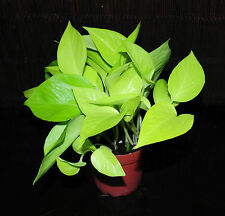 "New Item 2~Neon Pothos 4"" Pot Epipremnum aureum Neon Beautiful Chartreuse Leaves"