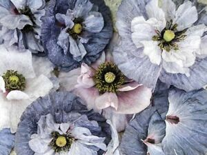 50 POPPY AMAZING GREY SEEDS Semi Double Flower Hardy Annual SOW OUTDOORS