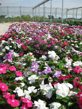 100 Dwarf Little Mix Periwinkle / Vinca Rosea Flower Seeds + Gift & Comb S/H