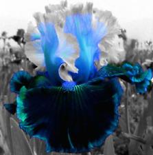2 Reblooming Iris Bulbs Rhizomes Perennial Cold Resistant Mixed Flower Stunning