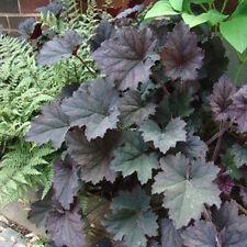 Heuchera FROSTED VIOLET dark purple black foliage coral bells perennial plant
