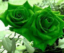 5 graines rosier rare vert