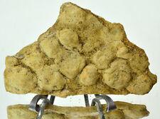 Ediacaran Precambrian fossil Medusoid Nemiana simplex plate #11682 UKRAINE