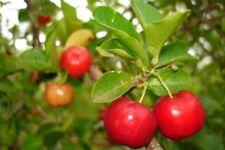 BARBADOS CHERRY - FRUIT - 1 LIVE PLANT - QUART POT