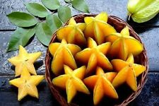 Thai Star Fruit 10 Seeds Carambola Exotic tree Genuine 100% M9