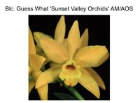 Blc Guess What 'SVO' AM/AOS X Laelia Seagulls 'Red' (15) 7083
