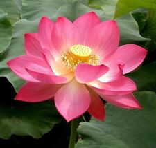 Pink Sacred Lotus Nelumbo Nucifera seeds * Not water lily *Easy grow* CombSh A37