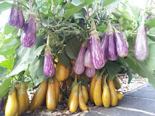 Fairy Tale Eggplant - 2005 AAS Award Winner - 15 Seeds