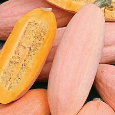 ORGANIC  VEGETABLE  SQUASH JUMBO PINK BANANA  15 SEEDS