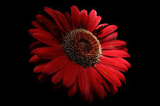 Framed Print - Red Daisy on Black Background (Picture Poster Flower Art Petals)