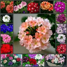100Pc Verbena Flowers Seeds Rare Medicinal Herb Plants Decoration in Home Garden