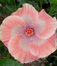 20 Pink White Hibiscus Seeds Garden Tropical Perennial Flower Exotic Hardy 2-446