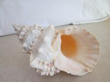 Giant  Frog Sea Shell Indo-Pacific 8 1/2""
