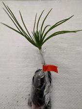 Italian Stone Pine, Umbrella Pine, Parasol Pine, Pinus Pinea, Plug Plants.