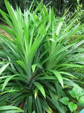200Pcs Fragrant Grass Seeds Annual Pandan Flower Potted lemon Fragrant Spices