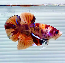 New listing Us Seller (A-Grade) Male Candy Nemo 2.5� Giant Betta imported from Thailand