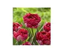 Double Late Tulip Bulbs Pink White Perennial Spring Flowers Resistant DIY Plant