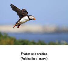 ADESIVO STICKER  Uccelli Fratercula arctica (Pulcinella di mare)
