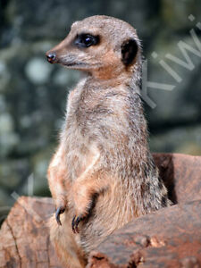 Meerkat Photo Art Print Canvas (UK)