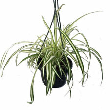 """Ocean Spider Live Plant Easy to Grow Cleans the Air 6"""" Hanging Basket Pot Indoor"""