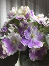 African Violet Opera'S Paolo - Starter Plant