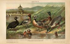 1895 WILD DUCKS BIRDS Antique Chromolithograph Print Ludw.Beckmann