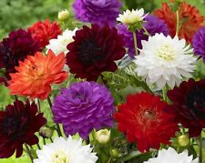 Flower Seed DAHLIA - Double Mixed Decorative Mixture Dahlia  - Pack of 30 seeds.