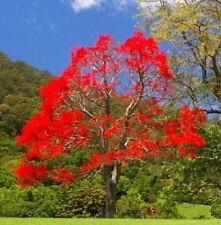 TS042 Brachychiton Acerifolius Illawarra Flame Tree x5 Seeds