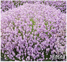 (10) Rosea Pink Lavender Flower/Herb SEEDS - first rose Lavender L. Angustifolia