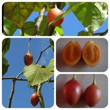 Tamarillo Baumtomate exotischer Strauch m. leckeren Früchten Cyphomandra betacea