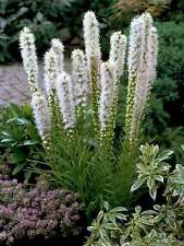 Liatris Floristan White Seed Annual Attracts Wildlife Drought Rabbit  Resistant