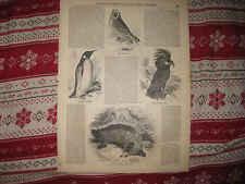 Antique 1855 Animal Print King Penguin Anteater Hawk Owl Goliah Aratoo Bird Nr
